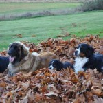 Dogs laying in the leaves