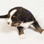 Rüde dunkelblau, 2 Wochen alt