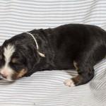 Rüde Pius vom Frühlingshof, 2 Wochen alt