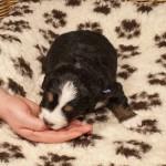 Rüde hellblau, 3 Wochen alt, erste Fleischmahlzeit