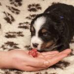 Rüde dunkelblau, 3 Wochen alt, erste Fleischmahlzeit