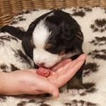 Rüde braun, 3 Wochen alt, erste Fleischmahlzeit