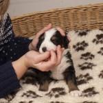 Hündin schwarz, 3 Wochen alt, erste Fleischmahlzeit