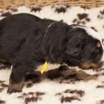 Rüde gelb, 3 Wochen alt, erste Fleischmahlzeit