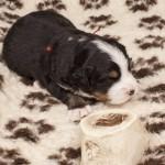 Hündin rot, 3 Wochen alt, erste Fleischmahlzeit