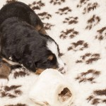 Pius vom Frühlingshof, 3 Wochen alt, erste Fleischmahlzeit
