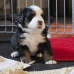 Balou (Braun), 4 Wochen alt