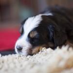 Paul-Theo (Lila), 4 Wochen alt