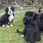 Bjelle-Hetti (SCHWARZ) 7 Wochen