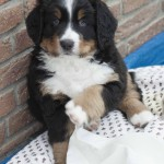 Pius-Karlson (Weiß),  7 Wochen
